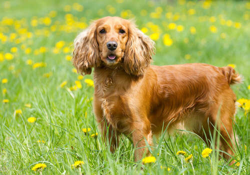 Cocker Spaniel Inglese: una razza molto intelligente