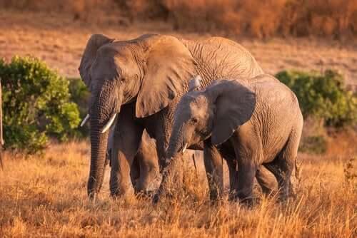 4 comportamenti curiosi degli elefanti in libertà