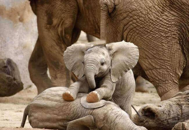 Elenfantini giocano per terra
