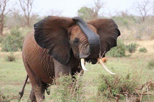 elefanti nella storia della civiltà: elefante che mangia