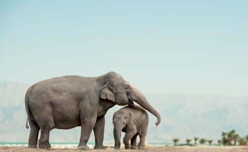 Gli elefanti sono animali sociali che vivono in gruppo