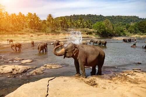 Elefanti in natura presso un fiume