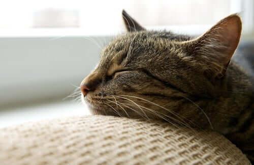Gatto che dorme con la testa sul divano