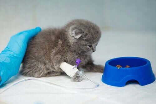 gattino malato con flebo