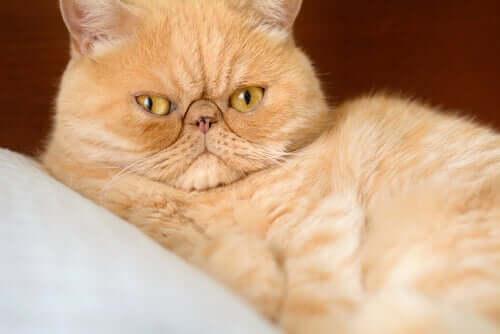 il gatto persiano presenta una predisposizione a soffrire di rinite cronica e di problemi oculari