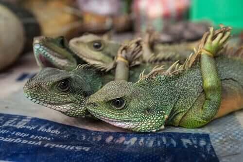Iguane con le zampe legate