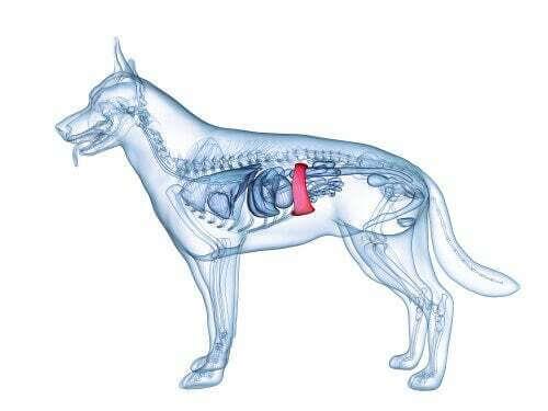 Milza cane: disegno anatomico del cane