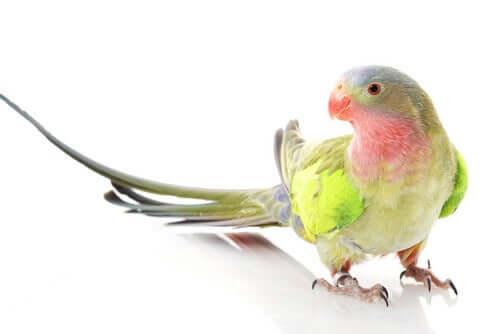 Parrocchetto della regina Alessandra: un uccello dal nome regale