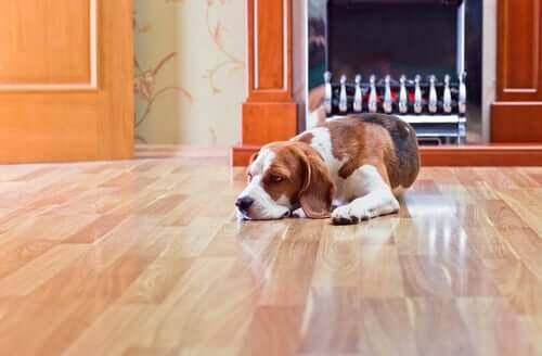 I pericoli del pavimento laminato per i cani