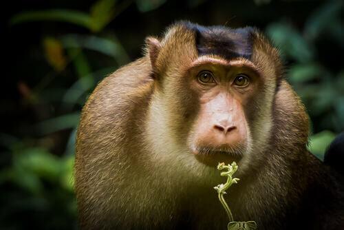 Le scimmie della Cina potrebbero estinguersi