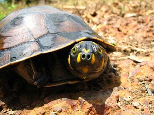 Tartaruga di terra habitat