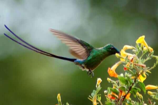 colibrì venezuelano