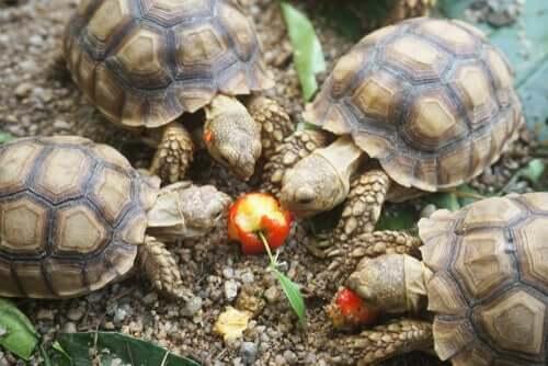 Tartarughe mangiano un frutto