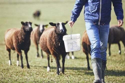 Allevamento pecore: pecore al pascolo