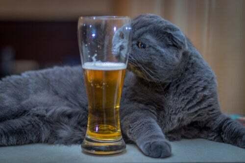 Birra gatto