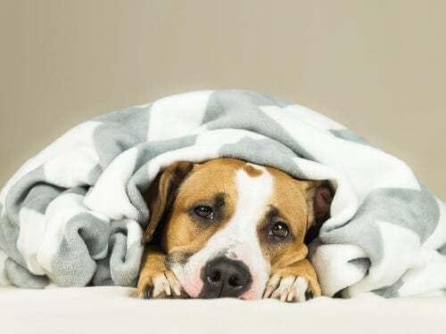 Cane malato coronavirus canino