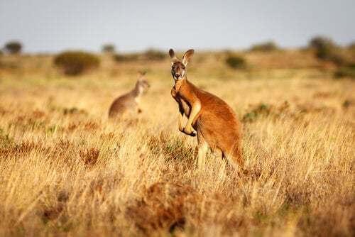 Il canguro rosso, il re indiscusso dell'Australia