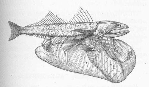 Chiasmodon niger disegno