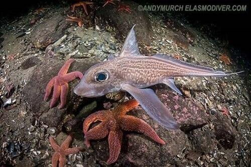 Pesci strani: la chimera degli abissi