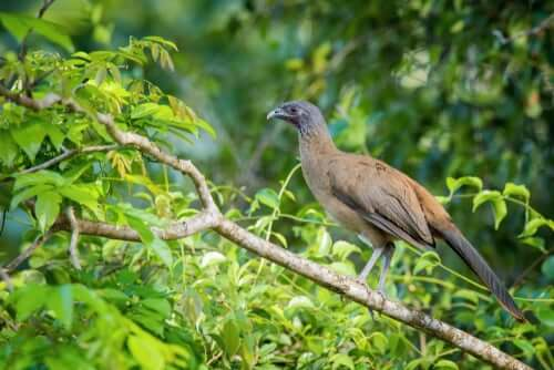 La ciacialaca culorossiccio, un uccello tropicale dal nome buffo