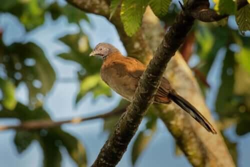 la ciacialaca culorossiccio vive nelle selve tropicali