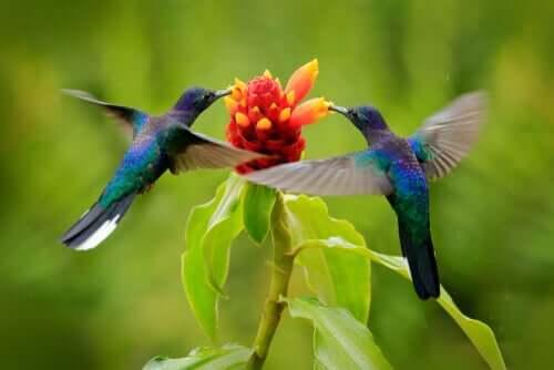 Colibrì attorno al fiore