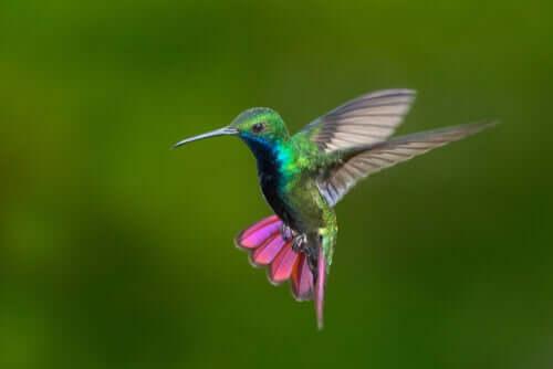Colibrì della Colombia e del Venezuela: bellezza variopinta