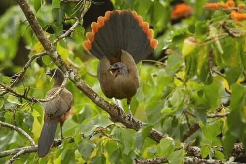 la ciacialaca culorossiccio nidifica sugli alberi