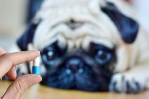 Dare la medicina al cane.
