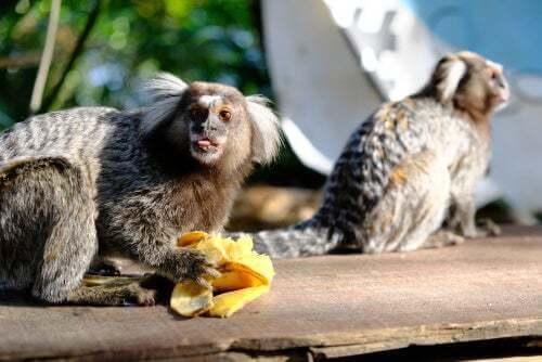 Dieta della scimmia uistitì