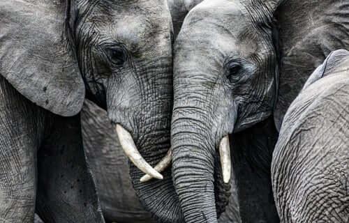 Due elefanti muso a muso