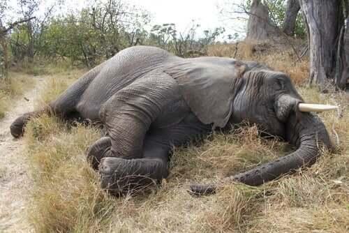 l'encefalomiocardite è una delle più importanti malattie virali degli elefanti