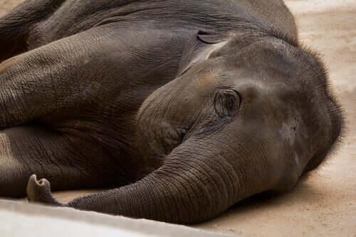 Le principali malattie batteriche degli elefanti
