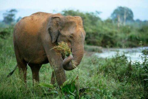 Elefante che mangia l'erba