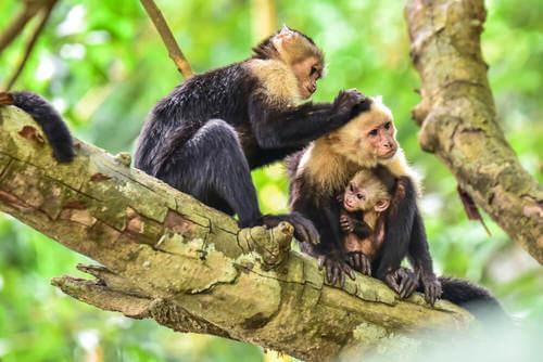 Famiglia di scimmie che si spulciano su un albero