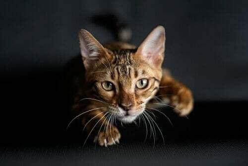 Gatto che caccia: giocare con gli animali domestici in quarantena