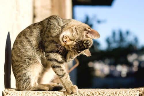 i gatti si lavano in un certo ordine, cominciando dalla testa