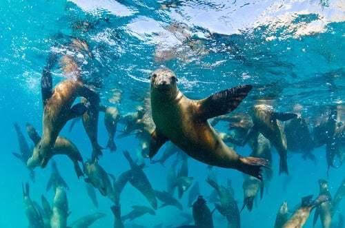 Leoni marini della California