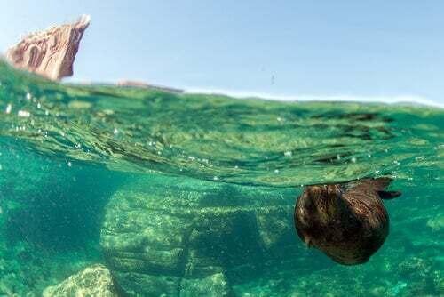 Leone marino che nuota