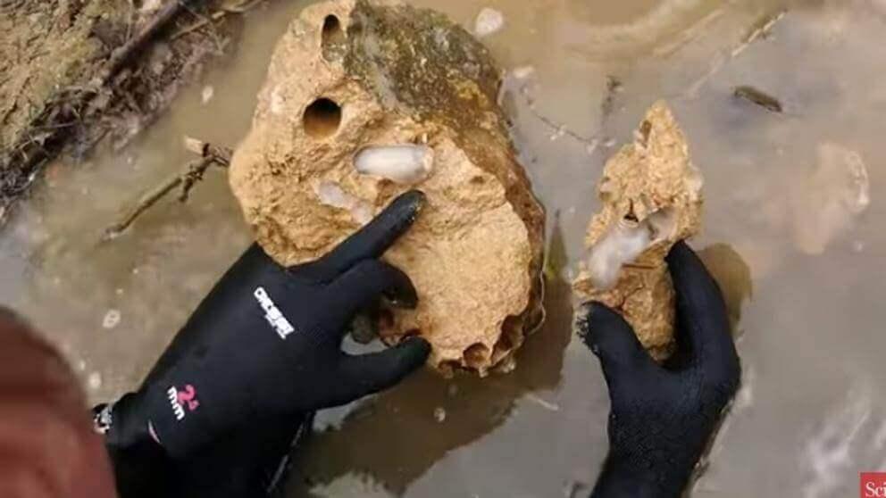 L. abatanica che scava la roccia