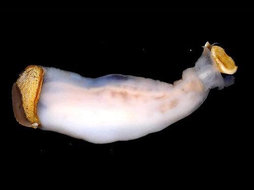 Lithoredo abatanica, il mollusco che può cambiare il corso di un fiume