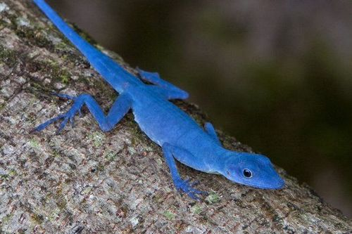 Lucertola di colore blu su un albero