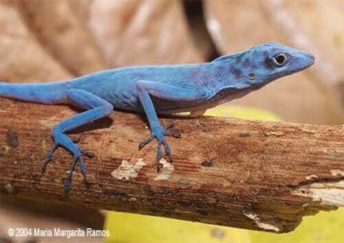 La lucertola blu di Gorgona: un rettile che sembra uscito da Avatar