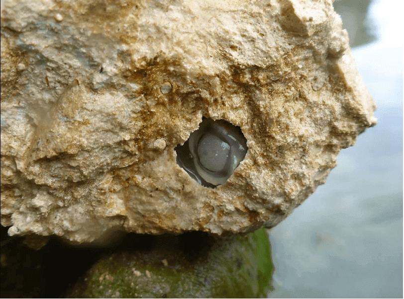 Mollusco che scava tunnel nella roccia