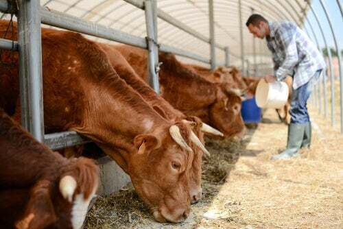 Allevamento mucche