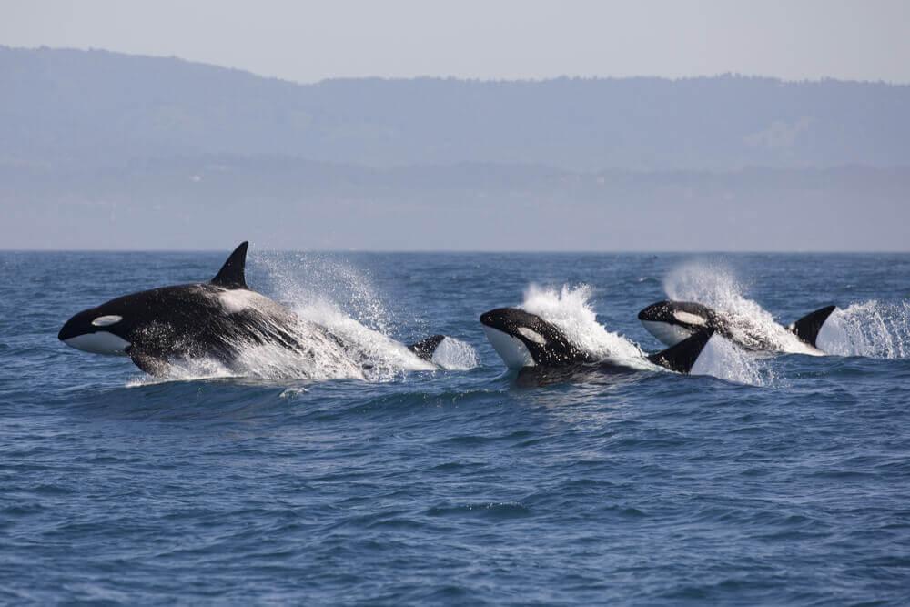 Orche che nuotano
