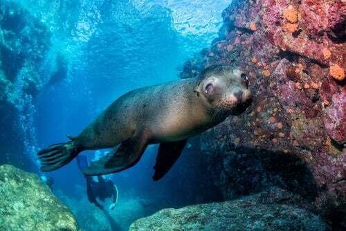 Una malattia minaccia la sopravvivenza dei leoni marini della California