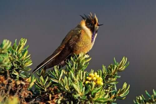 l'Oxypogon cyanolaemusrappresenta una delle specie di colibrì colombiano più rare e difficili da vedere
