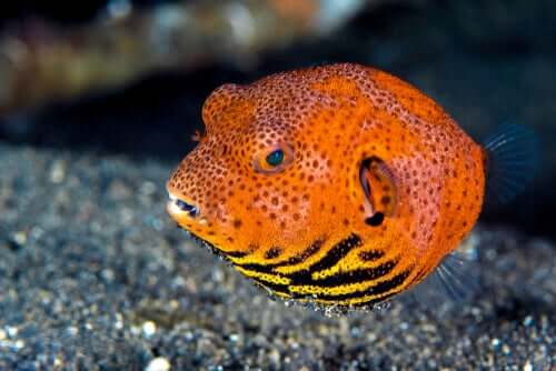 Pesce palla arancione