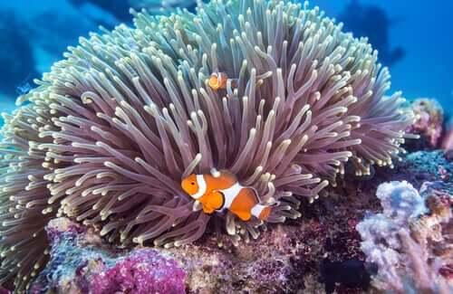 Pesci pagliaccio e anemone